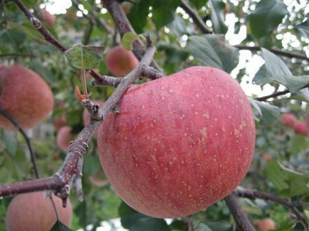 りんご^^